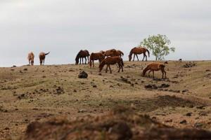 Kuda Tambora